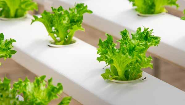 foto coltivazione Idroponica