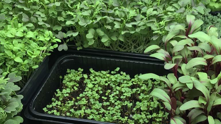 foto Microgreens, dettaglio prodotto
